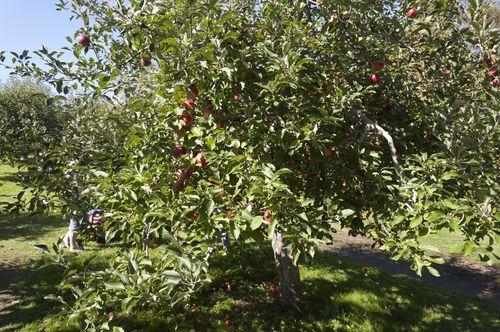 Apple pickin'!_6845
