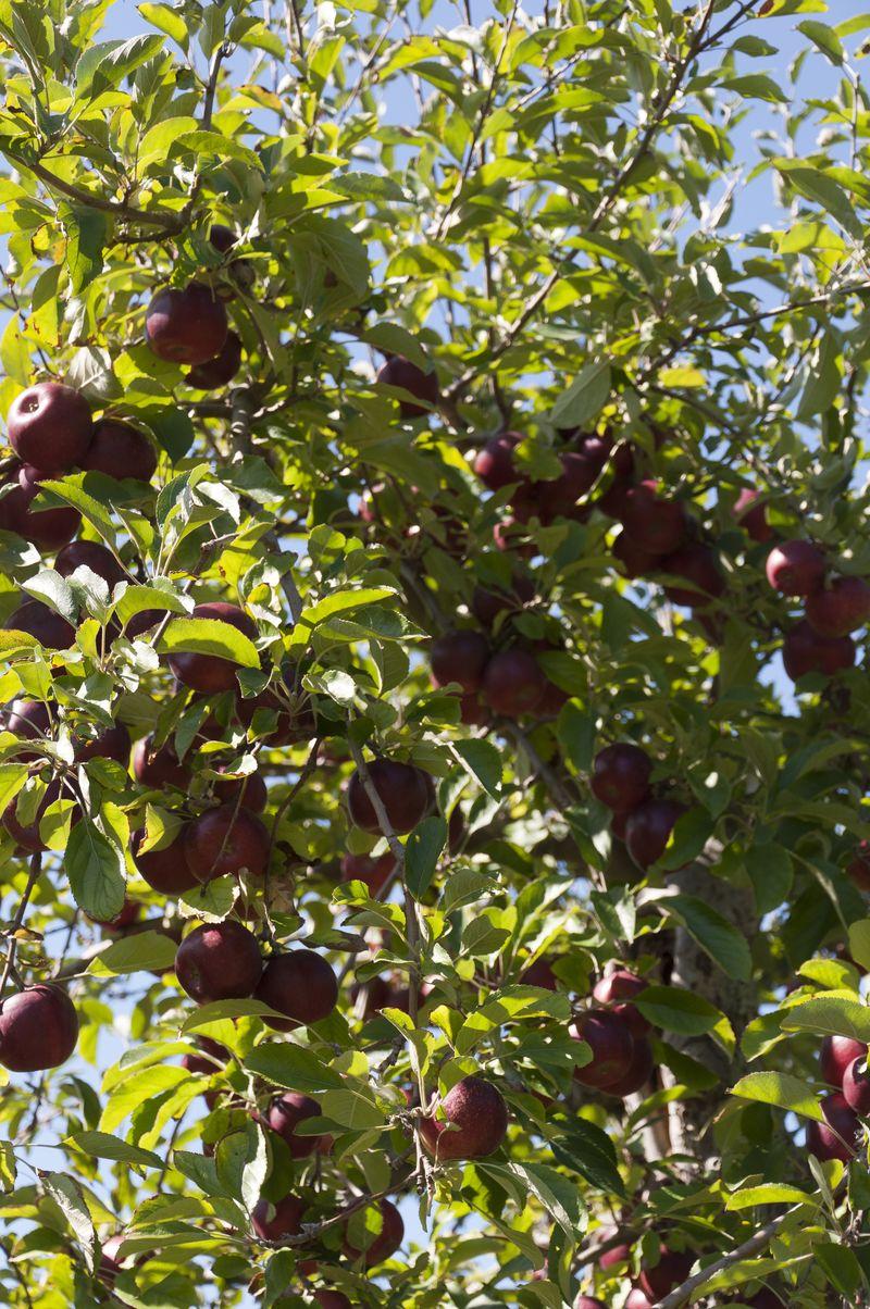 Apple pickin'!_6847
