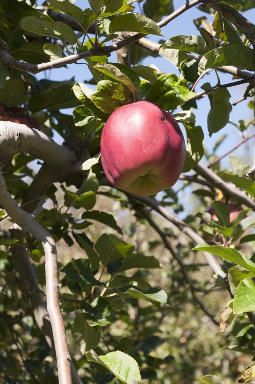 Apple pickin'!_6840